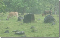 Cattle in Guadeloupe