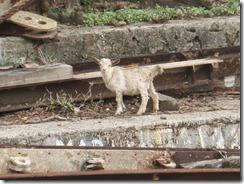 IDS Boatyard goat 6-7-2011 1-58-30 PM