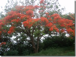 st.Lucia flamboyant tree wide 6-28-2011 12-20-14 PM