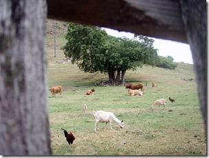 Isles des Saintes Pasture 6-6-2011 7-58-46 AM