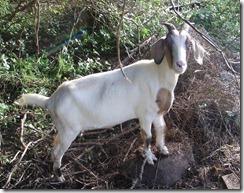 Hash 699 Goat  8-27-2011 4-13-07 PM