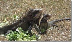 buh-bye-iguanas-2-23-2012-12-56-33-P[1]